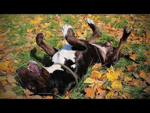 Funny Dogs Playing In Autumn Leaves Compilation