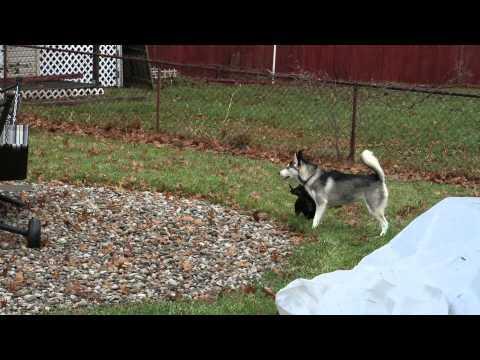 Husky Puppy Doesn't Trust Plastic Bag