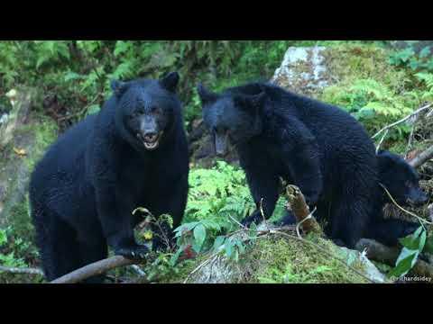 Black Bears: Foraging. Richard Sidey Video
