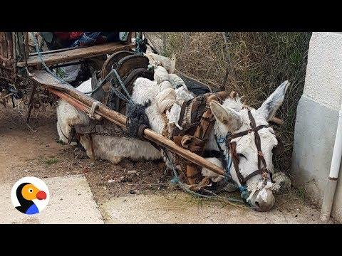 Donkey Dying of Exhaustion Rescued After Petition Saves His Life #Video