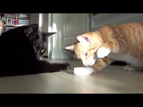 Kitten's First Ice Cube Video. Cole and Marmalade