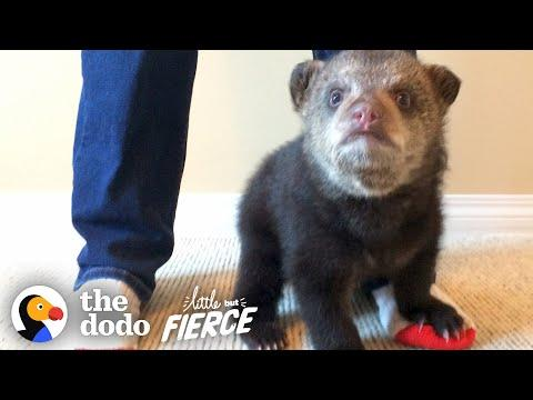 Rescued Baby Black Bear Slowly Falls In Love With His New Friend. #Video