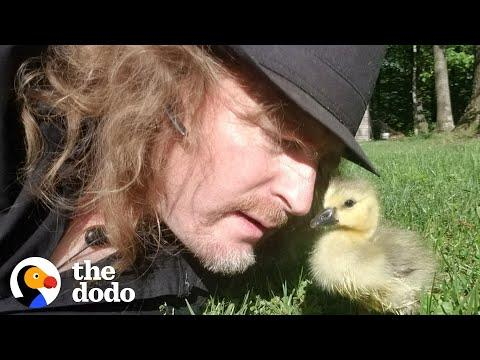Guy Teaches His Rescued Gosling How To Fly #Video