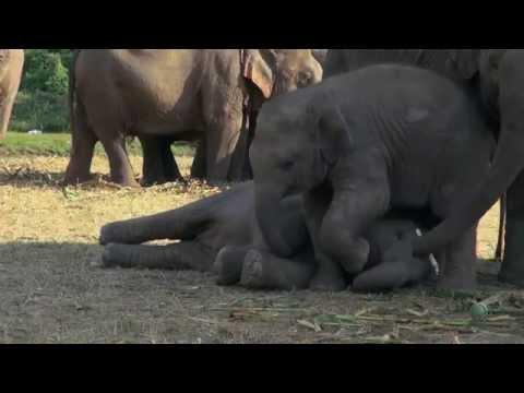 Cute Baby Elephants Play Fight Each Other