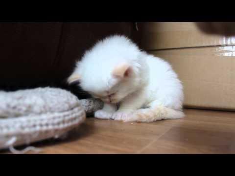 tired kitten cant stay awake video - so cute! so little!