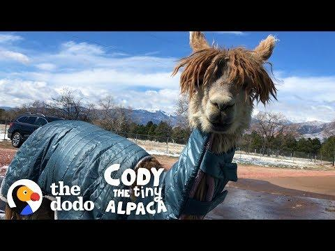 Watch Cody Get A Coat Made Just For Her!   Cody The Tiny Alpaca (Episode 2)