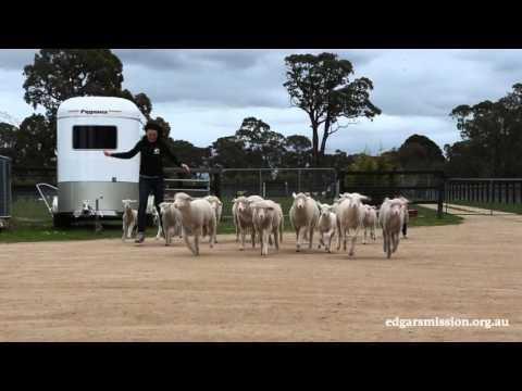 Lamb Stampede