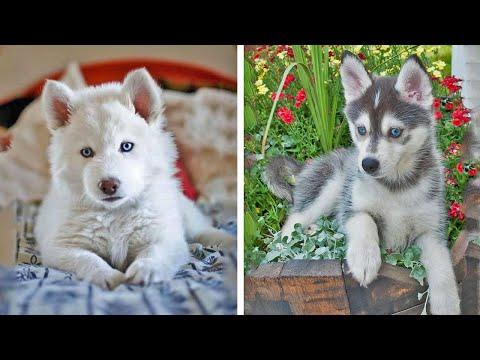 Funny And SOO Cute Husky Puppies Compilation #19 - Cutest Husky Puppy #Video