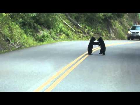 Bear Cubs Play In The Street