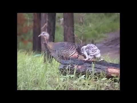 Great Grey Owlet Riding On Wild Turkey #Video