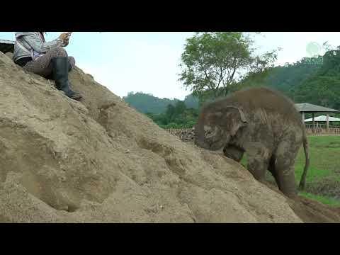 Playful Elephant Pyi Mai With Big Sand Pile - ElephantNews #Video