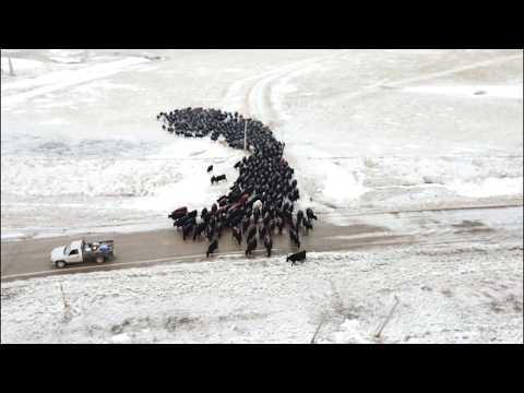 Moving Herd of Cattle Over 4 Miles with 3 Hangin Tree Cowdogs Video