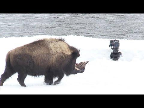 Bisons VS Cameraman | Earth's Great Rivers | Earth Unplugged