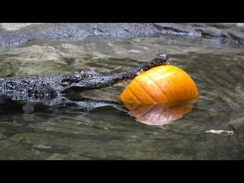 Crocodile Carves Pumpkin