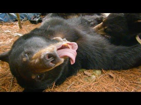 Cute Black Bear Cubs PURRING while Feeding | BBC Earth