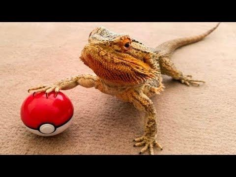BEARDED DRAGON - A Cute And Funny Bearded Dragon Videos Compilation