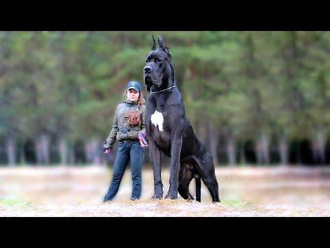 11 Biggest Dogs in the World Video
