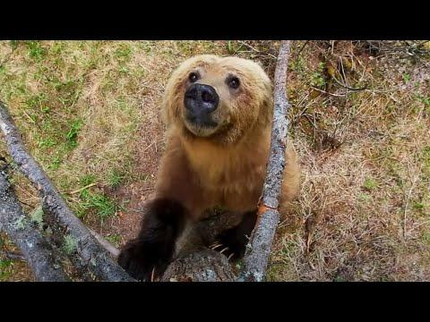 Bears Dancing in the Forest. David Attenborough #Video