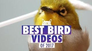 Best Bird Videos of The Year 2017 | Pets of 2017
