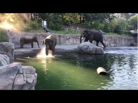 Elephant family has early morning pool party