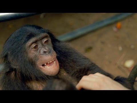 Making A Bonobo Laugh - Animals In Love