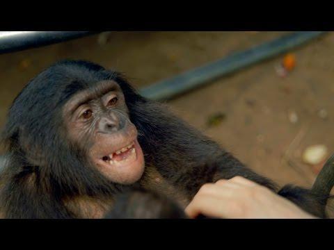 Making A Bonobo Laugh - Animals In Love