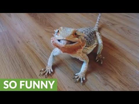 Bearded dragon goes crazy for blueberries video