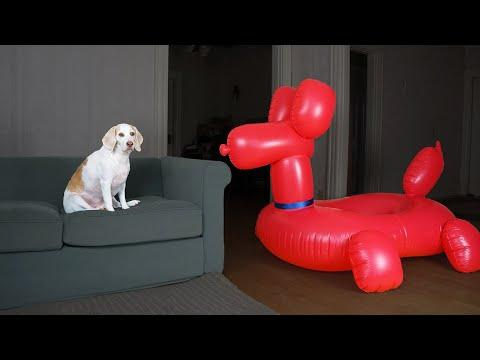 Dog vs Balloon Dog Prank: Funny Dogs Maymo, Penny & Potpie Have Fun with Giant Balloon Dog