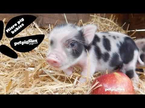 Perfect Little Micro Piggies