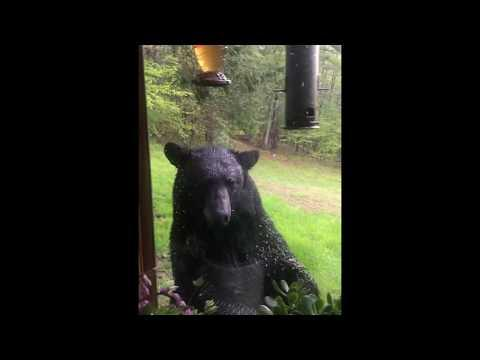 Bear Looks for Food in Bird Feeder at Massachusetts Home
