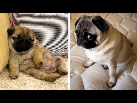 AWW SOO Cute and Funny Pug Puppies Video - Funniest Pug Ever #13