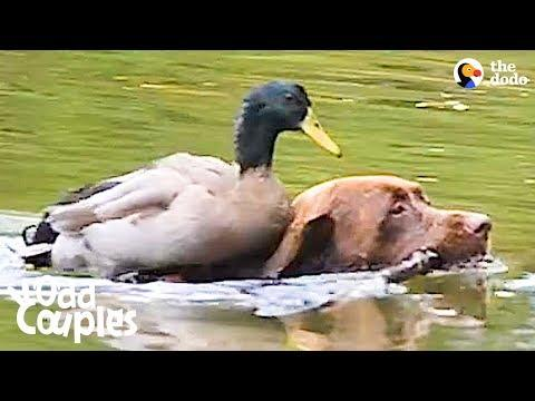 Duck Loves It When His Dog Brother Takes Him Swimming