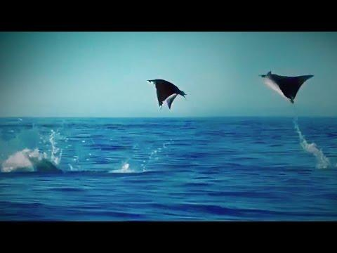 Hundreds of Manta Rays Leap into the Air