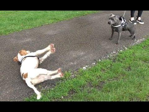 Dog Gets Too Excited And Passes Out. Your Daily Dose Of Internet.