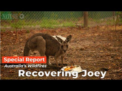 Australian Fires - Caregiver Feeds a Rescued Joey