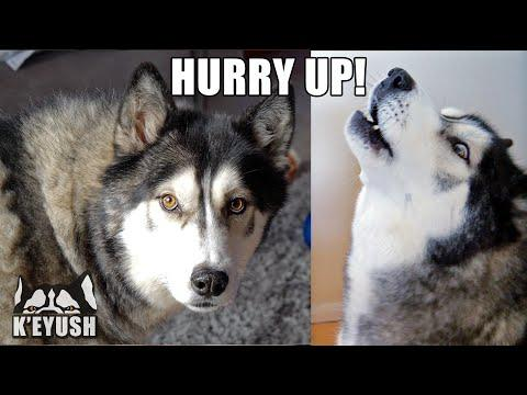 Grumpy Husky Has a Go At My Mum Because it's Lunch Time Video!