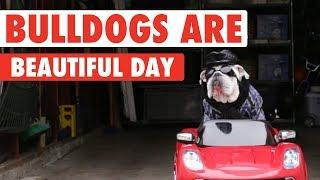 Funny Bulldog Videos | Bulldogs Are Beautiful Day