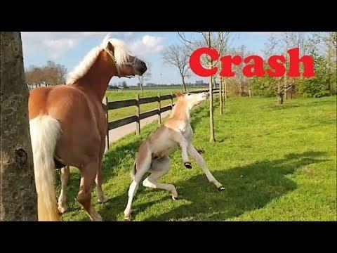 Crazy Crash with Strüdel the Haflinger horse...