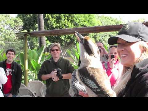 Crikey the kookaburra's Call #Video