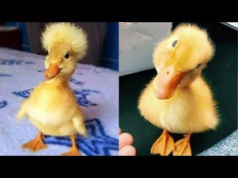 Our Funny Ducklings - Cute Duck Videos - Baby Ducklings - Funny Duck Videos