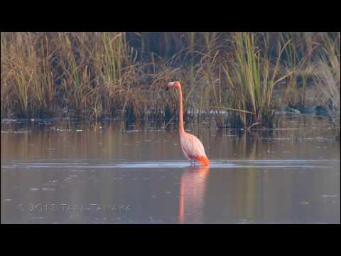 American Flamingo at St. Marks National Wildlife Refuge