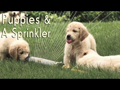 21 Golden Retriever Puppies Encounter A Sprinkler For The First Time
