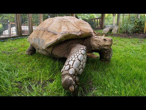 Meet Dozer the African Spurred Tortoise