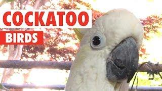 Funny Cockatoo Video Compilation 2018
