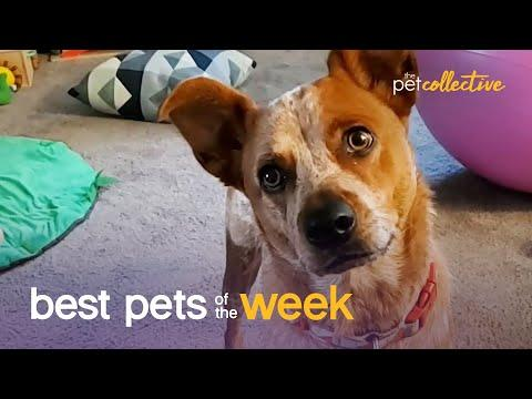 Does This Dog Think He's A Turkey? | Best Pets of the Week Video