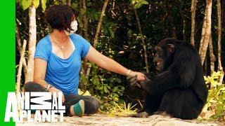 Ponso The 'World's Loneliest Chimp' Befriends Chimp Expert Estelle Raballand  | Dodo Heroes