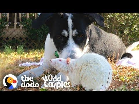 Dog And Rat Won't Leave Each Other Alone  | The Dodo Odd Couples