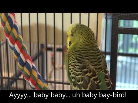 Disco The Parakeet - Oy Duh Meep Bop!