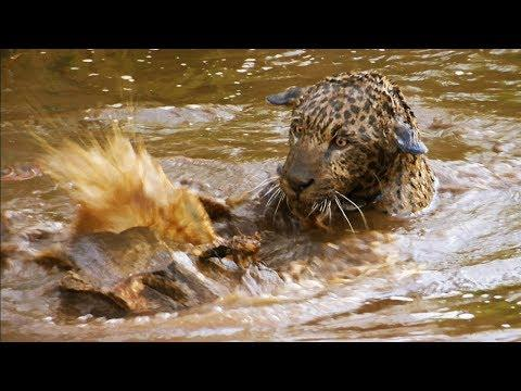 Jaguar Orphans go for a Swim | Jaguars Born Free | BBC Earth
