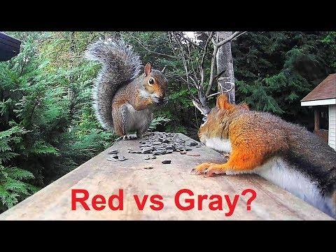 Red Squirrel vs. Gray Squirrel